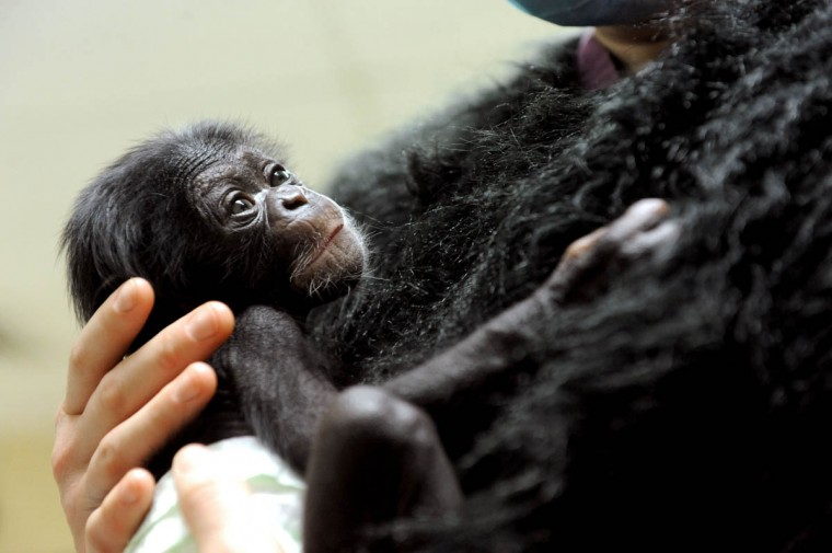 Keeva, a chimpanzee born two weeks ago at the zoo, is held by Claire MacNamara, Chimp Forest Area manager, who is wearing a fake fur vest. Keeva was removed from her mother, Carole, who was not taking care of her. (Kim Hairston/Baltimore Sun)
