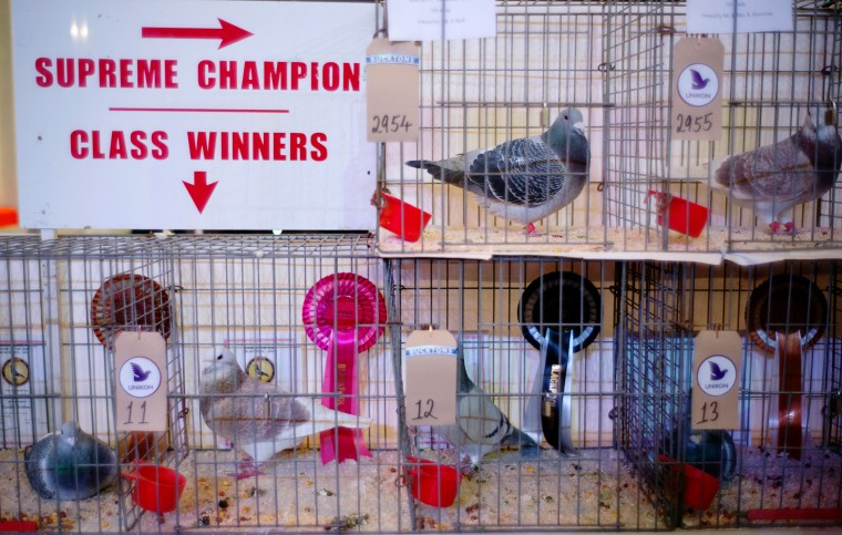 Prize winning pigeons and their rosettes are displayed during the annual three-day 'British Homing World Show of the Year' at The Winter Gardens on January 16, 2016 in Blackpool, England. Homing pigeon fanciers from across Europe gathered to find the Supreme Show Champion with judges casting their eyes over hundreds of birds on show. The Royal Pigeon Racing Association organises the event and has Queen Elizabeth II, who keeps pigeons at Sandringham, as it's patron. (Christopher Furlong/Getty Images)