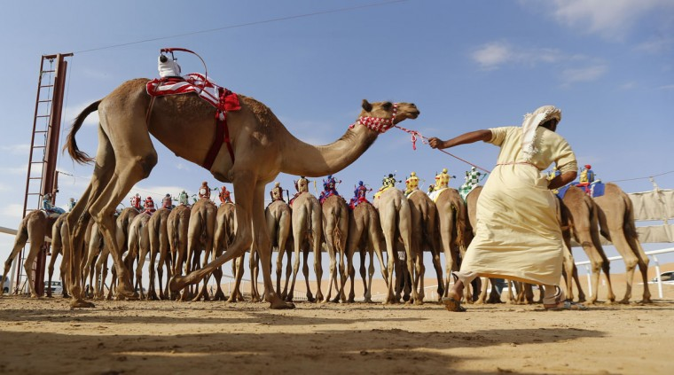 Camels prepare to compete during the Liwa 2016 Moreeb Dune Festival on January 5, 2016, in the Liwa desert, 250 kilometers west of the Gulf emirate of Abu Dhabi. (KARIM SAHIB/AFP/Getty Images)