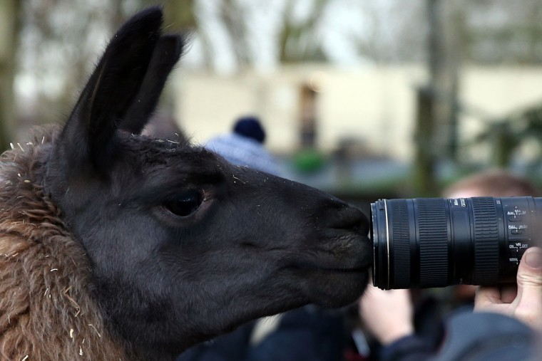 A curious llama looks into a camera lens during the annual stocktake of animals at ZSL London Zoo on January 4, 2016 in London, England. (Photo by Carl Court/Getty Images)