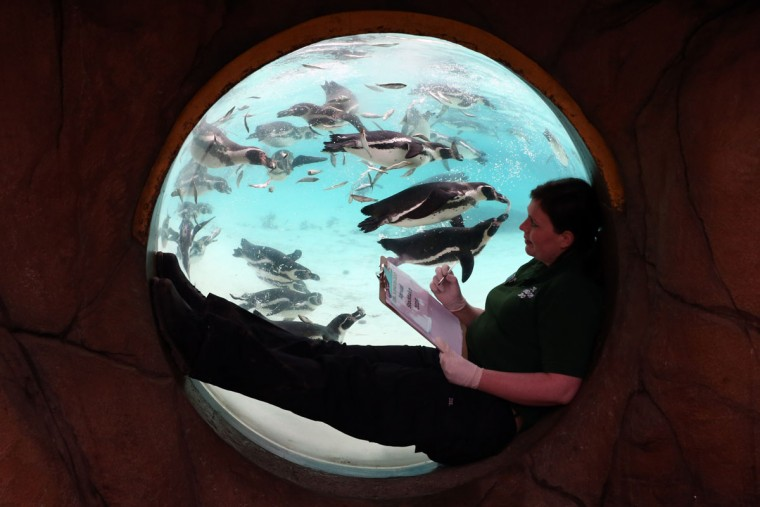 A zookeeper poses for a photograph as she counts penguins in their pool during the annual stocktake of animals at ZSL London Zoo on January 4, 2016 in London, England. (Photo by Carl Court/Getty Images)