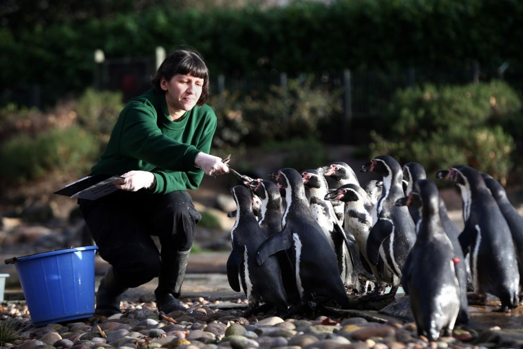 Zookeeper Janet Abreu feeds Humboldt penguins during the annual stocktake of animals at ZSL London Zoo on January 4, 2016 in London, England. (Photo by Carl Court/Getty Images)