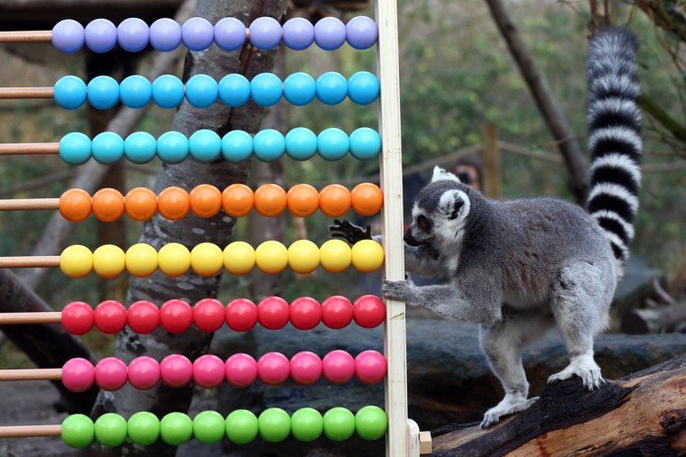 A ring tail lemur plays with an abacus during the annual stocktake of animals at ZSL London Zoo on January 4, 2016 in London, England. (Photo by Carl Court/Getty Images)