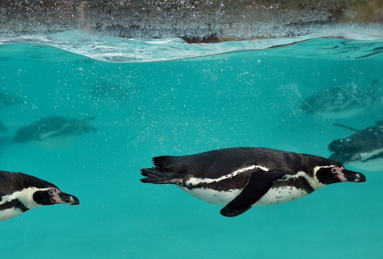 Humboldt penguins swim during the annual stocktake photocall at London Zoo in central London on January 4, 2016. (BEN STANSALL/AFP/Getty Images)