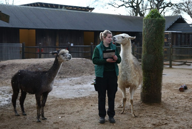 Jessica Jones handles a clipboard as she poses for a photograph with a llama and alpaca during the annual stocktake of animals at ZSL London Zoo on January 4, 2016 in London, England. (Photo by Carl Court/Getty Images)