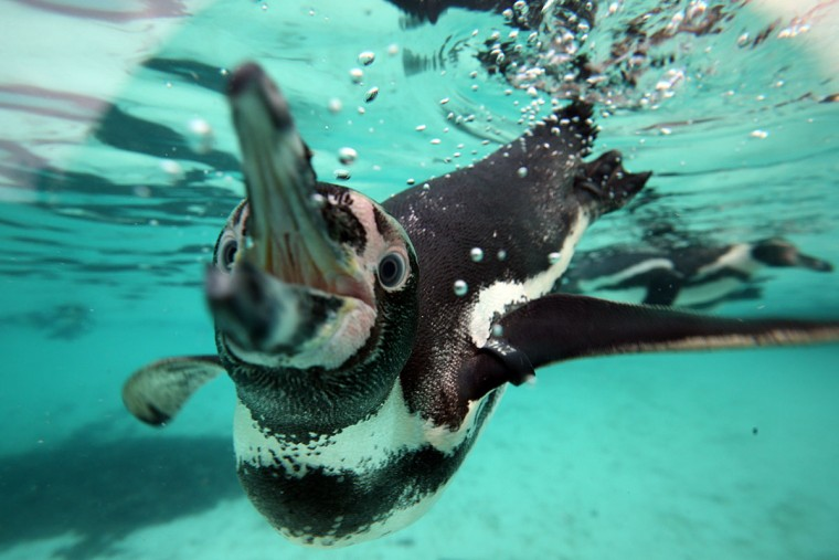 A penguin swims close to its tank wall during the annual stocktake of animals at ZSL London Zoo on January 4, 2016 in London, England. (Photo by Carl Court/Getty Images)