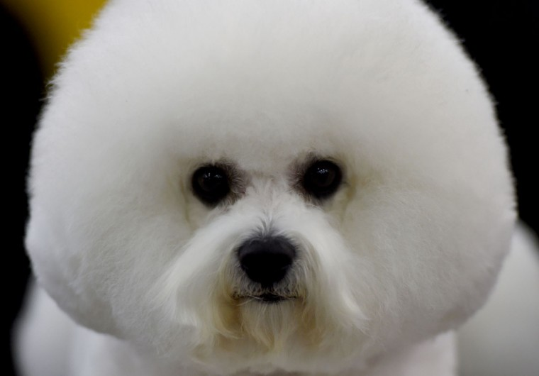 A Bichon Frises waits in the grooming area February 15, 2016 in New York during the first day of competition at the Westminster Kennel Club 140th Annual Dog Show. (TIMOTHY A. CLARY/AFP/Getty Images)