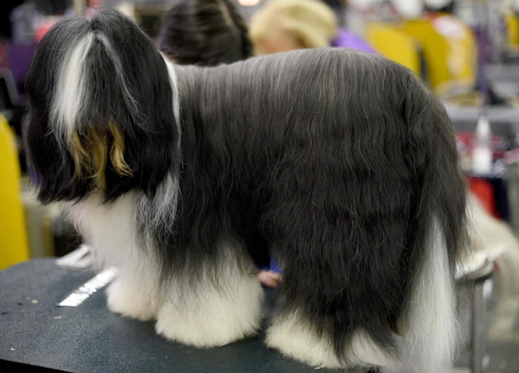 A dog waits in the grooming area February 15, 2016 in New York during the first day of competition at the Westminster Kennel Club 140th Annual Dog Show. (TIMOTHY A. CLARY/AFP/Getty Images)