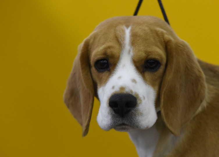 A beagle waits in the grooming area February 15, 2016 in New York during the first day of competition at the Westminster Kennel Club 140th Annual Dog Show. (TIMOTHY A. CLARY/AFP/Getty Images)