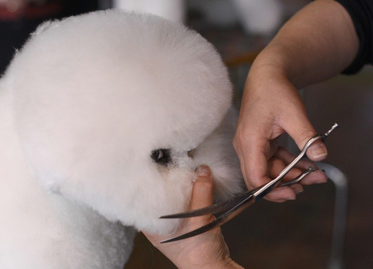 A Bichon Frise is groomed in the benching area February 15, 2016 in New York during the first day of competition at the Westminster Kennel Club 140th Annual Dog Show. (TIMOTHY A. CLARY/AFP/Getty Images)