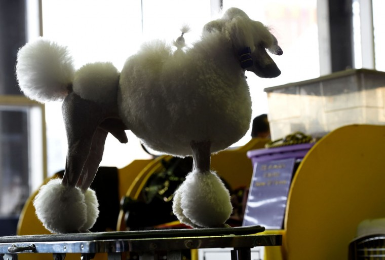 A Standard Poodle is seen in the grooming area February 15, 2016 in New York during the first day of competition at the Westminster Kennel Club 140th Annual Dog Show. (TIMOTHY A. CLARY/AFP/Getty Images)