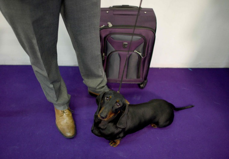 A Dachshund poses in the judging area February 15, 2016 in New York during the first day of competition at the Westminster Kennel Club 140th Annual Dog Show. (AFP/Getty Images)