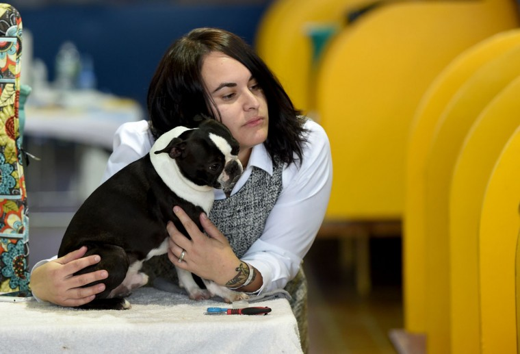 Jessica Freni and her Boston Terrier wait in the benching area February 15, 2016 in New York during the first day of competition at the Westminster Kennel Club 140th Annual Dog Show. (TIMOTHY A. CLARY/AFP/Getty Images)