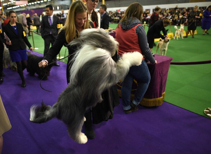 A Bearded Collie is seen in the competition area on February 15, 2016 in New York during the first day of competition at the Westminster Kennel Club 140th Annual Dog Show. (AFP/Getty Images)