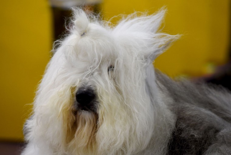 A Old English Sheepdog is seen in the grooming area February 15, 2016 in New York during the first day of competition at the Westminster Kennel Club 140th Annual Dog Show. (TIMOTHY A. CLARY/AFP/Getty Images)