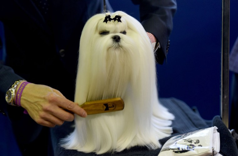 A Maltese is seen in the competiton area February 15, 2016 in New York during the first day of competition at the Westminster Kennel Club 140th Annual Dog Show. (TIMOTHY A. CLARY/AFP/Getty Images)