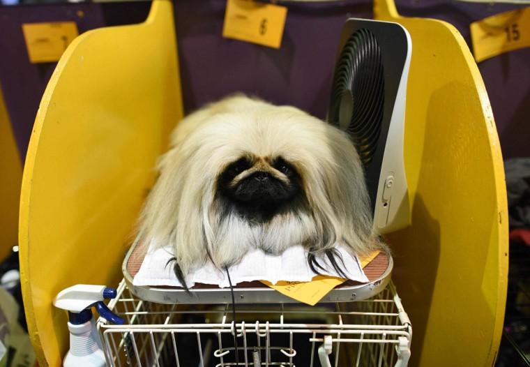 A Pekingese sits in the benching area February 15, 2016 in New York during the first day of competition at the Westminster Kennel Club 140th Annual Dog Show. (AFP/Getty Images)