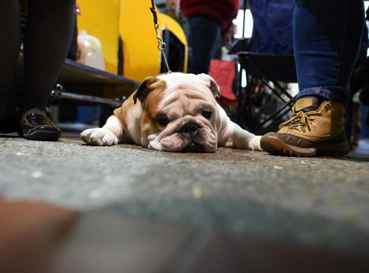 A Bulldog rests in the benching area February 15, 2016 in New York during the first day of competition at the Westminster Kennel Club 140th Annual Dog Show. (AFP/Getty Images)