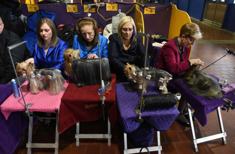 Handlers groom their Yorkshire Terriers in the benching area February 15, 2016 in New York during the first day of competition at the Westminster Kennel Club 140th Annual Dog Show. (AFP/Getty Images)