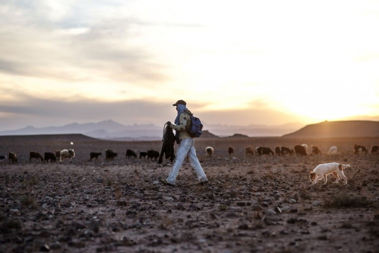 A shepherd watches over his cattle in the desert of the High Atlas mountains, next to Ouarzazate, central Morocco. Indomitable and proud, they call themselves the Amazigh, which is believed to mean ìfree peopleî or ìnoble men,î and trace their origins as an indigenous people in western North Africa to at least 10,000 B.C. (AP Photo/Mosa'ab Elshamy)