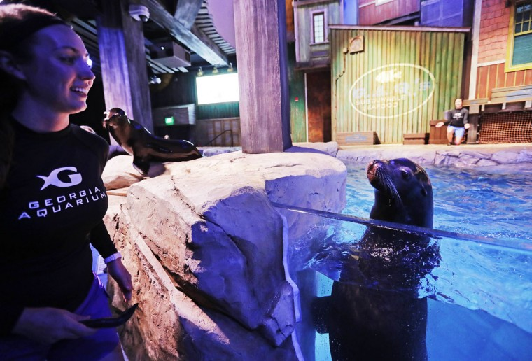 In this Monday, March 28, 2016 photo, assistant trainer Abigail Kucher, left, goes to feed a fish to Diego, a rescued California sea lion, during a rehearsal for a new exhibit opening at the Georgia Aquarium. (AP Photo/David Goldman)