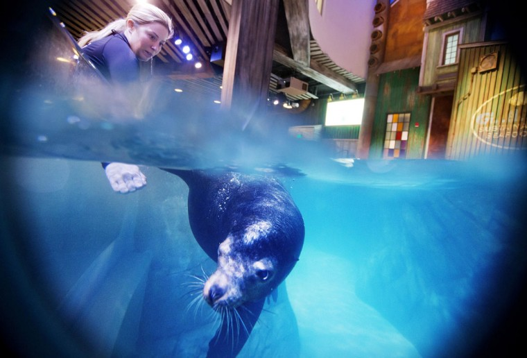 In this Monday, March 28, 2016 photo, trainer Catrina Bloomquist works with Nav, an 11-year-old rescued California sea lion, as part of a new exhibit opening at the Georgia Aquarium. (AP Photo/David Goldman)