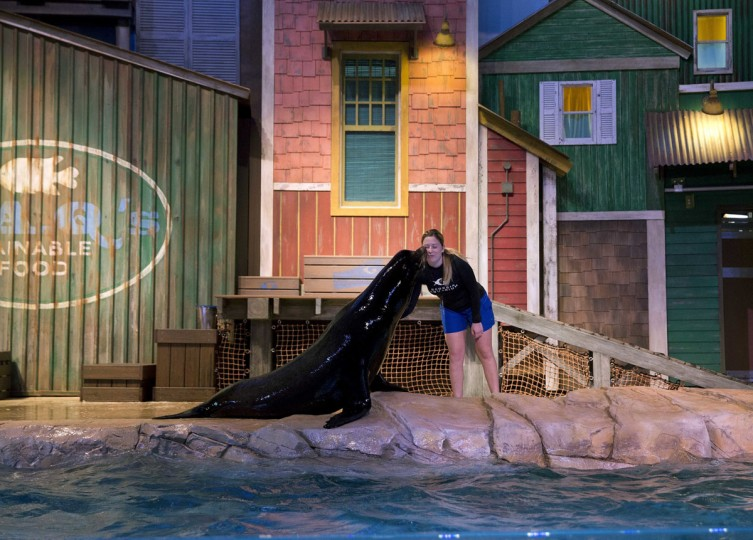 Trainer Caterina Bloomquist performs with at Nav, a 500-pound California sea lion at the Georgia Aquarium Thursday, March 31, 2016, in Atlanta. (AP Photo/John Bazemore)