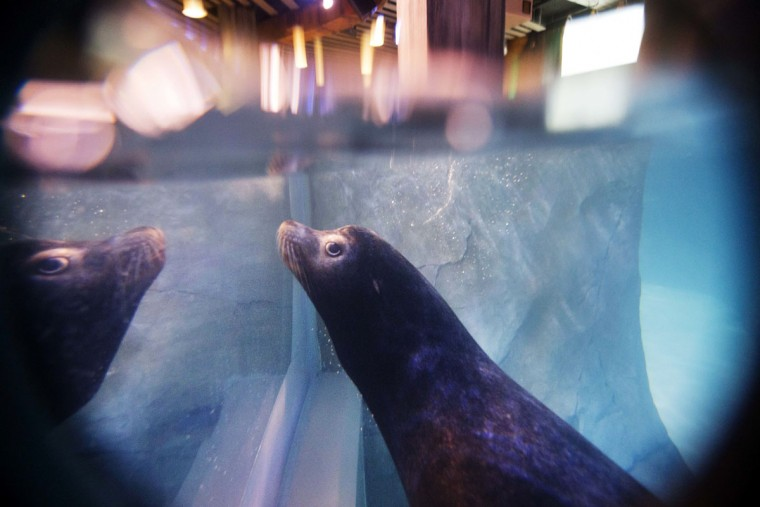 In this Monday, March 28, 2016 photo, Nav, an 11-year-old rescued California sea lion, swims in the water during a training session for a new exhibit at the Georgia Aquarium. (AP Photo/David Goldman)