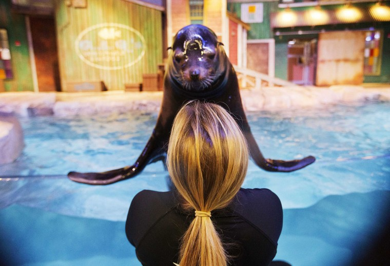In this Monday, March 28, 2016 photo, trainer Catrina Bloomquist works with Nav, an 11-year-old rescued California sea lion, as part of a new exhibit opening at the Georgia Aquarium. The aquarium is in the midst of celebrating its tenth anniversary, and as part of the festivities, patrons will be introduced to the newest faces in Atlanta, a group of rescued California sea lions. (AP Photo/David Goldman)