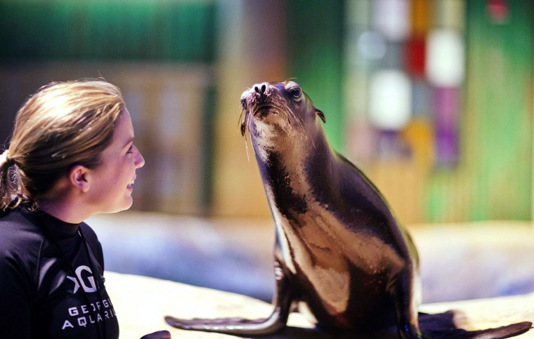 In this Monday, March 28, 2016 photo, trainer Catrina Bloomquist works with Scout, a rescued California sea lion, as part of a new exhibit opening at the Georgia Aquarium. The aquarium is in the midst of celebrating its tenth anniversary, and as part of the festivities, patrons will be introduced to the newest faces in Atlanta, a group of rescued California sea lions. (AP Photo/David Goldman)