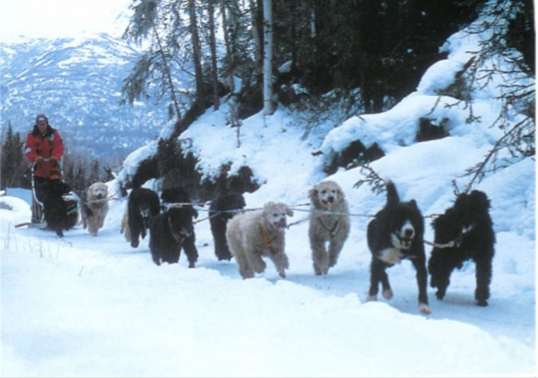 Alaska transplant John Suter and his racing poodles. When Suter saw a miniature poodle eagerly running to keep up with his snowmobile, an improbable thought occurred to him: Now there's a sled dog. (Courtesy of John Suter)