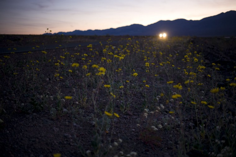In this Wednesday, Feb. 24, 2016 photo, wildflowers bloom alongside the road near Badwater Basin in Death Valley, Calif. Death Valley National Park is awash in color from fall rainstorms that provided the needed start to produce a wintertime super bloom of wildflowers for the first time since 2005. (AP Photo/Jae C. Hong)
