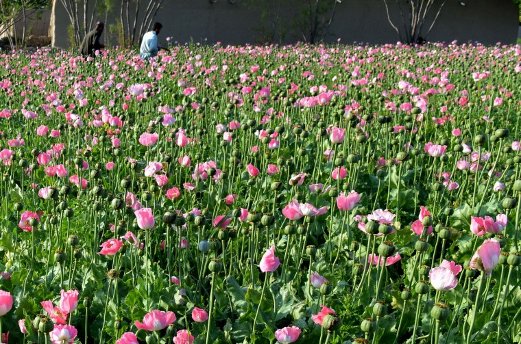 Afghan farmers harvest opium sap from a poppy field in Zari District of Kandahar province on April 12, 2016. Opium poppy cultivation in Afghanistan dropped 19 percent in 2015 compared to the previous year, according to figures from the Afghan Ministry of Counter Narcotics and United Nations Office on Drugs and Crime (Jawed Tanveer/AFP/Getty Images)