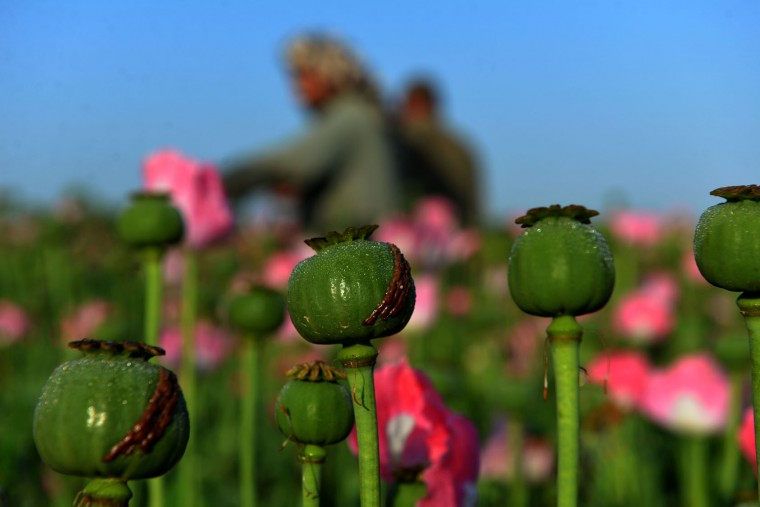 Afghan farmer harvest opium sap from a poppy field in Zari District of Kandahar province on April 12, 2016. Opium poppy cultivation in Afghanistan dropped 19 percent in 2015 compared to the previous year, according to figures from the Afghan Ministry of Counter Narcotics and United Nations Office on Drugs and Crime. (Jawed Tanveer/AFP/Getty Images)