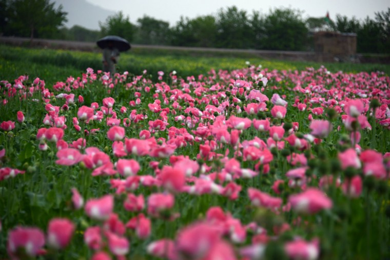 In this photograph taken on April 2, 2016, an Afghan farmer (back) walks by a poppy field in Zari District of Kandahar province. Opium poppy cultivation in Afghanistan dropped 19 percent in 2015 compared to the previous year, according to figures from the Afghan Ministry of Counter Narcotics and United Nations Office on Drugs and Crime. (Jawed Tanveer/AFP/Getty Images)
