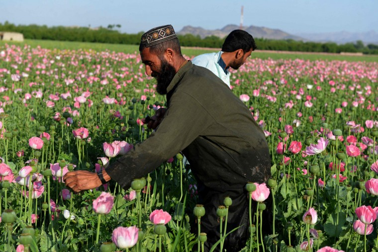 Afghan farmers harvest opium sap from a poppy field in Zari District of Kandahar province on April 12, 2016. Opium poppy cultivation in Afghanistan dropped 19 percent in 2015 compared to the previous year, according to figures from the Afghan Ministry of Counter Narcotics and United Nations Office on Drugs and Crime. (Jawed Tanveer/AFP/Getty Images)