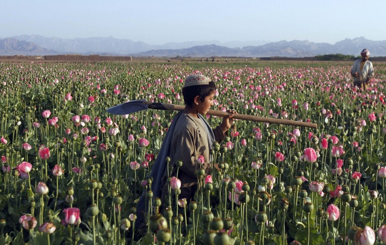In this Monday, April 11, 2016 photo, an Afghan child carries a shovel on his shoulder as he walks in a poppy field in Zhari district of southern Kandahar province, Afghanistan. A recent uptick in violence across the south will worsen once the poppy crop is harvested in coming weeks and the extremists deploy gunmen to protect their vast smuggling empire, officials, analysts and diplomats are predicting. (AP Photos/Allauddin Khan)
