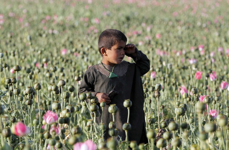 In this Monday, April 11, 2016 photo, an Afghan child harvests raw opium at a poppy field in Zhari district of southern Kandahar province, Afghanistan. A recent uptick in violence across the south will worsen once the poppy crop is harvested in coming weeks and the extremists deploy gunmen to protect their vast smuggling empire, officials, analysts and diplomats are predicting. (AP Photos/Allauddin Khan)