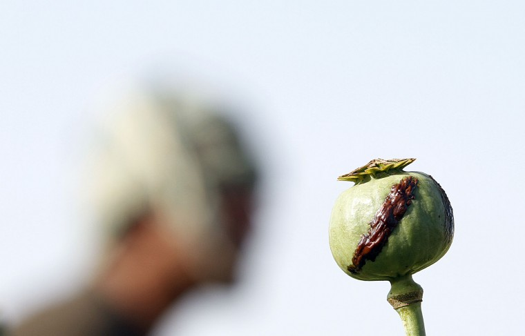 In this Monday, April 11, 2016 photo, a harvested poppy is seen at a poppy field in Zhari district of southern Kandahar province, Afghanistan. A recent uptick in violence across the south will worsen once the poppy crop is harvested in coming weeks and the extremists deploy gunmen to protect their vast smuggling empire, officials, analysts and diplomats are predicting. (AP Photos/Allauddin Khan)