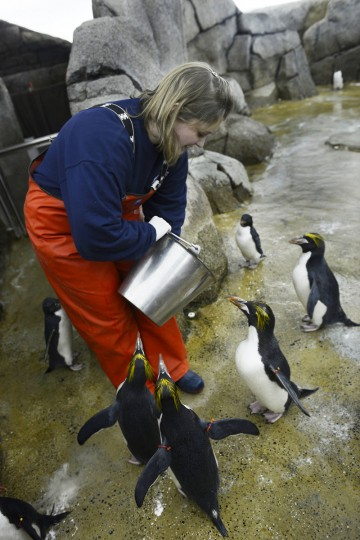 In a March 7, 2016 photo, zookeeper Lindsay Ireland feeds a group of Rockhopper penguins at the zoo in Royal Oak, Mich. The roughly $30 million Polk Penguin Conservation Center at the zoo in the Detroit suburb of Royal Oak is being unveiled to the public on April 18. (Donna Terek/The Detroit News via AP)