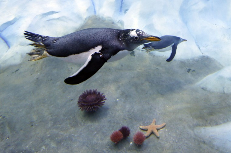 A penguin swims in the Detroit Zoo's new Polk Penguin Conservation Center, Wednesday, April 13, 2016, in Royal Oak, Mich. The new penguin habitat that the zoo calls the worldís largest such facility offers its 80-plus residents new rocks for climbing, waves, snow and better ice conditions, while allowing visitors to come nose-to-beak with the stately birds. A preview Wednesday showed off the $30 million center, which features an underwater gallery and two tunnels where visitors can watch four species of penguins swim above, around and below them. It opens to the public Monday. (AP Photo/Carlos Osorio)