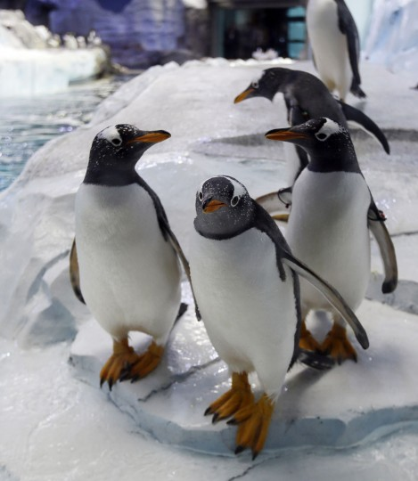 Penguins are photographed in the Detroit Zoo's new Polk Penguin Conservation Center, Wednesday, April 13, 2016, in Royal Oak, Mich. The new penguin habitat that the zoo calls the worldís largest such facility offers its 80-plus residents new rocks for climbing, waves, snow and better ice conditions, while allowing visitors to come nose-to-beak with the stately birds. A preview Wednesday showed off the $30 million center, which features an underwater gallery and two tunnels where visitors can watch four species of penguins swim above, around and below them. It opens to the public Monday. (AP Photo/Carlos Osorio)