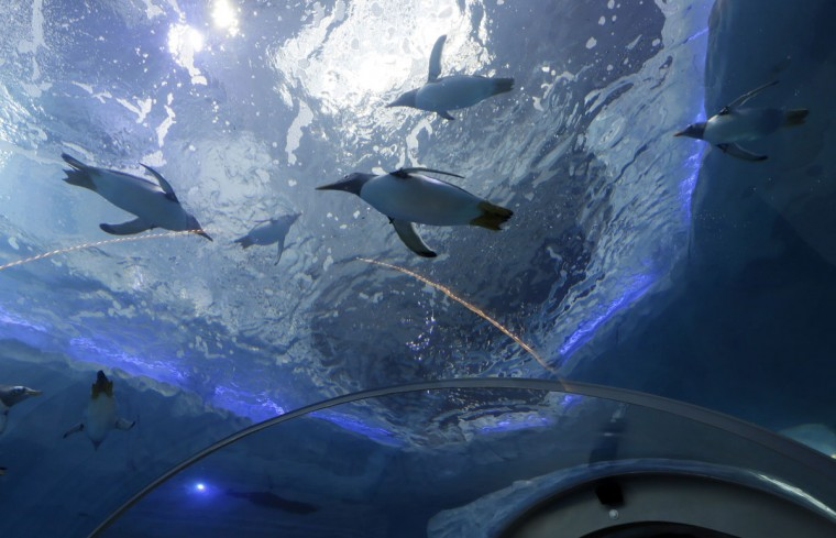 Penguins swim in the Detroit Zoo's new Polk Penguin Conservation Center, Wednesday, April 13, 2016, in Royal Oak, Mich. The new penguin habitat that the zoo calls the worldís largest such facility offers its 80-plus residents new rocks for climbing, waves, snow and better ice conditions, while allowing visitors to come nose-to-beak with the stately birds. A preview Wednesday showed off the $30 million center, which features an underwater gallery and two tunnels where visitors can watch four species of penguins swim above, around and below them. It opens to the public Monday. (AP Photo/Carlos Osorio)