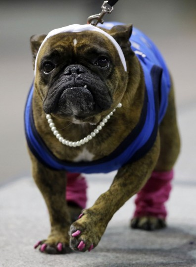 Fat Amy, owned by Jess Reese, of West Des Moines, Iowa, walks across stage during the 37th annual Drake Relays Beautiful Bulldog Contest, Sunday, April 24, 2016, in Des Moines, Iowa. The pageant kicks off the Drake Relays festivities at Drake University where a bulldog is the mascot. (AP Photo/Charlie Neibergall)