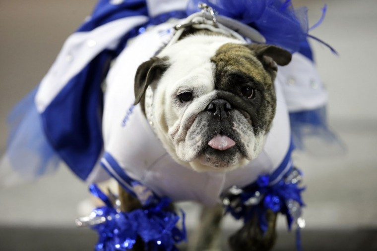 Deliylah, owned by Tressa Yeggy, of Des Moines, Iowa, walks on the stage during the 37th annual Drake Relays Beautiful Bulldog Contest, Sunday, April 24, 2016, in Des Moines, Iowa. The pageant kicks off the Drake Relays festivities at Drake University where a bulldog is the mascot. (AP Photo/Charlie Neibergall)