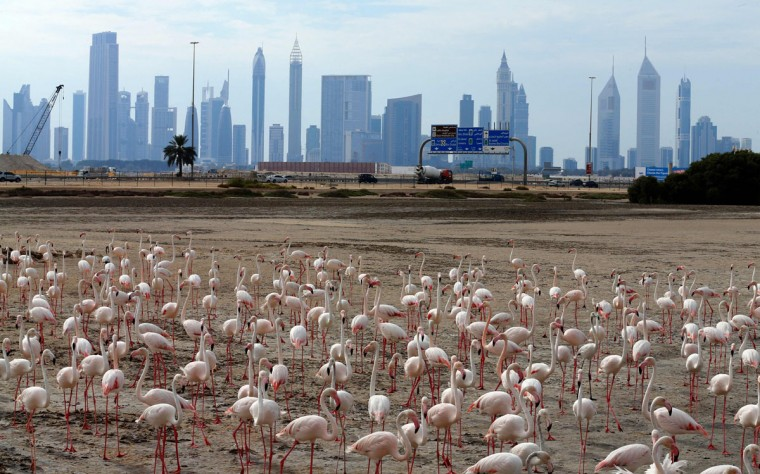 A general views shows pink flamingos standing on the mud flats at the Ras al-Khor Wildlife Sanctuary with the Dubai skyline in the background, on the outskirts of the city on April 5, 2016. (KARIM SAHIB/AFP/Getty Images)