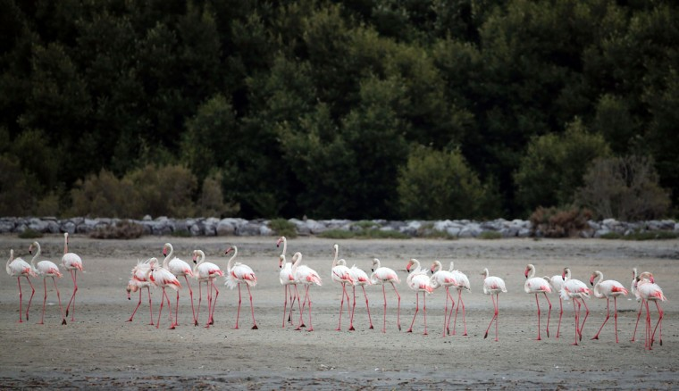 Pink flamingos walk on the mud flats at the Ras al-Khor Wildlife Sanctuary on the outskirts of Dubai, in the United Arab Emirates, on April 5, 2016. (KARIM SAHIB/AFP/Getty Images)