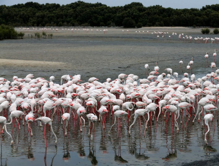 Pink flamingos stand in the water at the Ras al-Khor Wildlife Sanctuary on the outskirts of Dubai, in the United Arab Emirates, on April 5, 2016. (KARIM SAHIB/AFP/Getty Images)