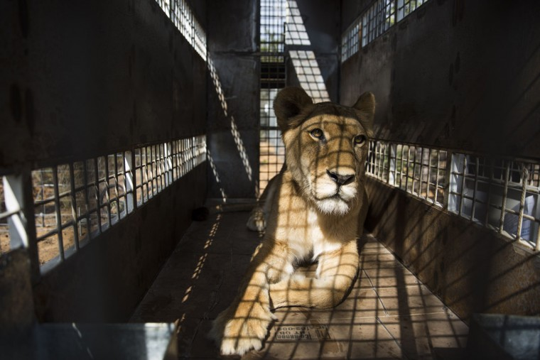 VAALWATER, SOUTH AFRICA - MAY 01: One of the 33 lions is ready for release into it's new enclosure at the Emoya 'Big Cat Sanctuary' on May 1, 2016 in Vaalwater, South Africa. A total of 33 former circus Lions, 22 males and 11 females from Peru and Columbia were airlifted to South Africa yesterday, before being released today to live out their lives on the private reserve in the Limpopo Province. 24 of the animals were rescued in raids on circuses operating in Peru, with the rest voluntarily surrendered by a circus in Colombia after Colombias Congress passed a bill prohibiting circuses from using wild animals. The trip has been coordinated by the animal rights group 'Animal Defenders International'. The animals have been released into small open areas with natural vegetation, something that many of the animals have never experienced before. (Photo by Dan Kitwood/Getty Images)
