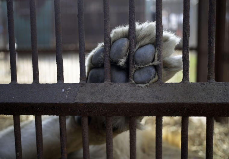 A former circus lion rests inside a cage located in the outskirts of Lima, Peru, Tuesday, April 26, 2016. Thirty-three lions rescued from circuses in Peru and Colombia are heading back to their homeland to live out the rest of their lives in a private sanctuary in South Africa. The largest ever airlift of lions will take place Friday and was organized and paid for by Animal Defenders International. (AP photo/Martin Mejia)